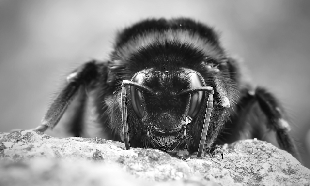 Close up, head-on shot of a furry bee. Macro. Black and white.