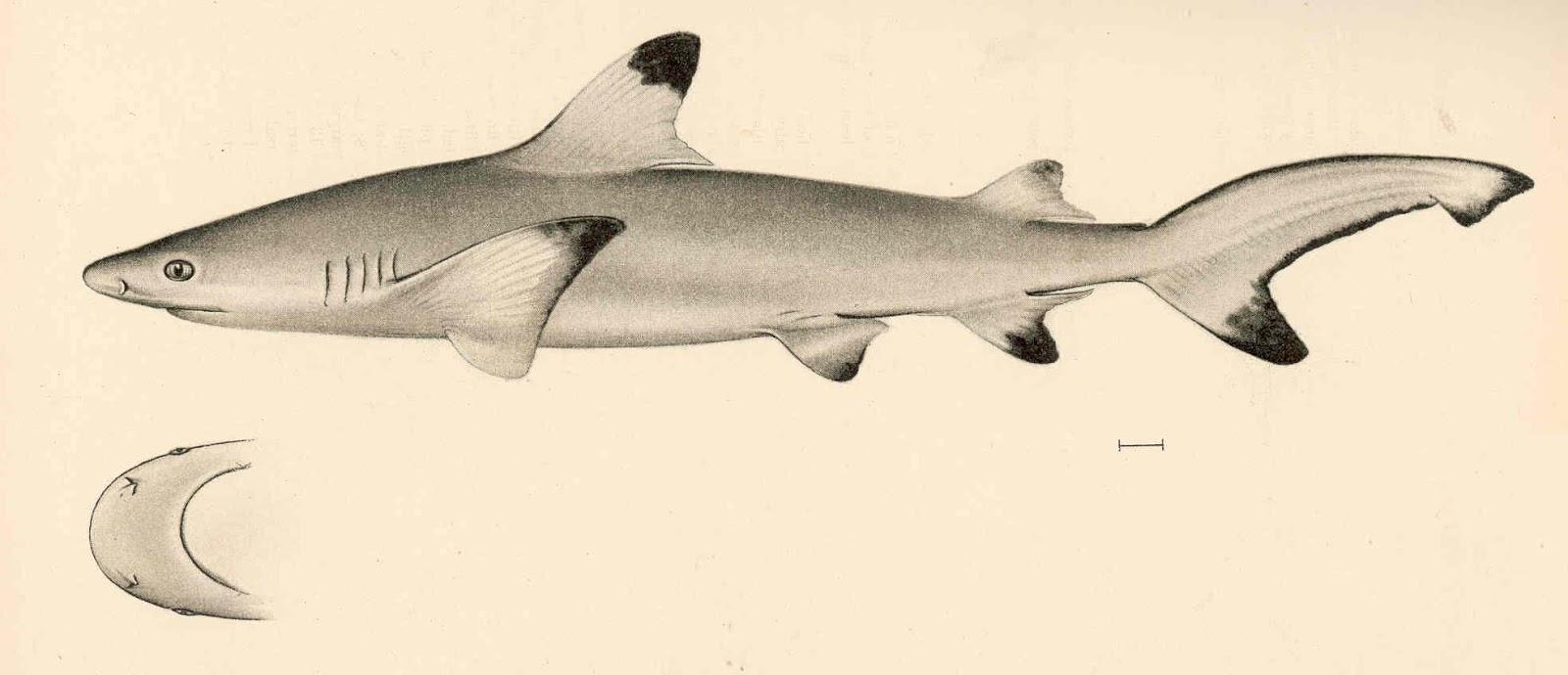 Unduh 60 Gambar Ikan Cucut Terpopuler