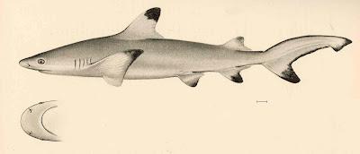 Jenis - Jenis Ikan Air Laut Ekonomis Penting [Bagian 5]