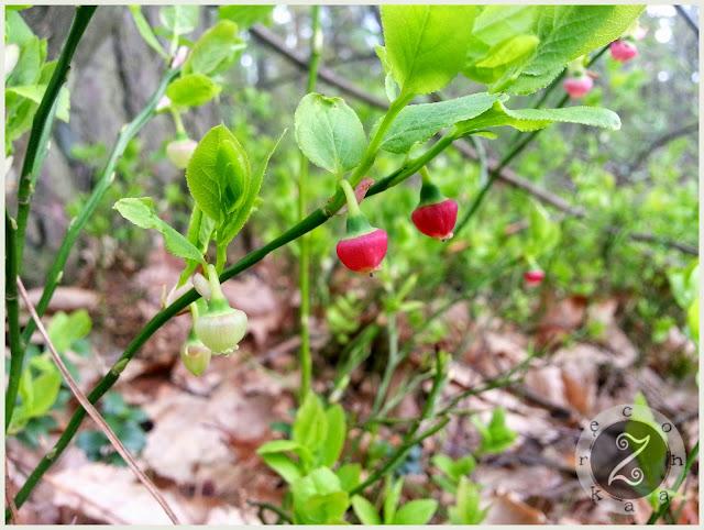 jagody na wiosne
