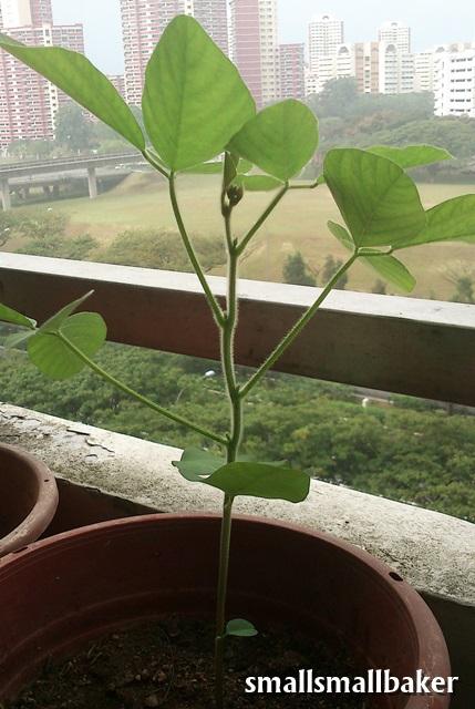 eggplant, edamame and easy pickings | Japanese Garden |Edamame Flower