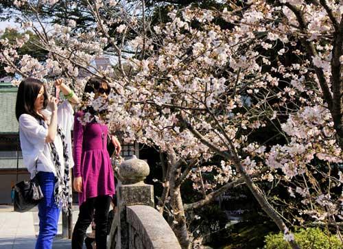 Munakata Taisha Cherry Blossom.