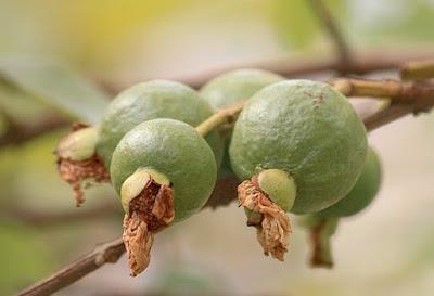 cara membuat zat perangsang buah