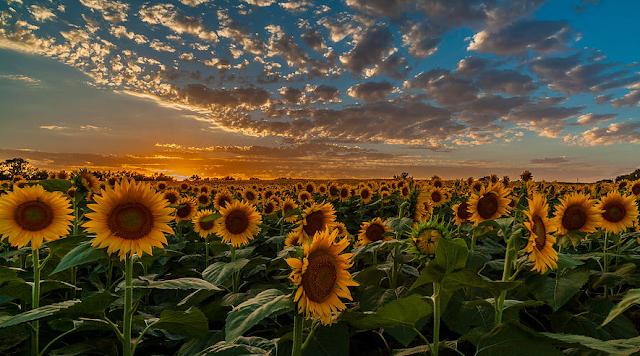 Ternyata Bunga Matahari Dapat Menetralisir Efek Radiasi dari Limbah Nuklir