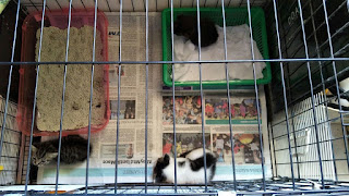 3 kittens in Cage