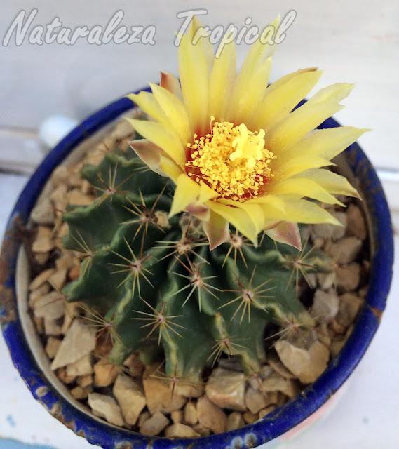 Flor del cactus Erizo, Thelocactus setispinus