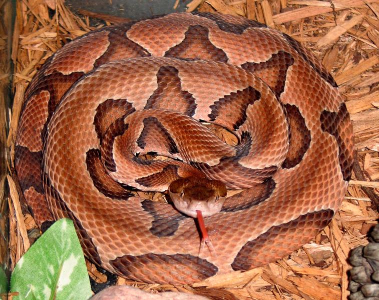The Jungle Store: Backyard Nature - The Copperhead Snake