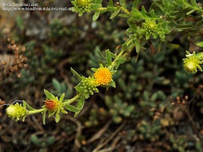 http://www.biodiversidadvirtual.org/herbarium/Jasonia-glutinosa-(L.)-DC.-img479774.html