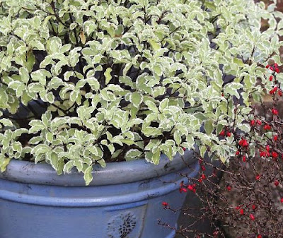 Shrubs in Tubs