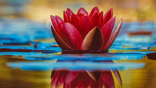 Lotus Rouge sur l'Eau - Fond d'écran en Ultra HD 4K