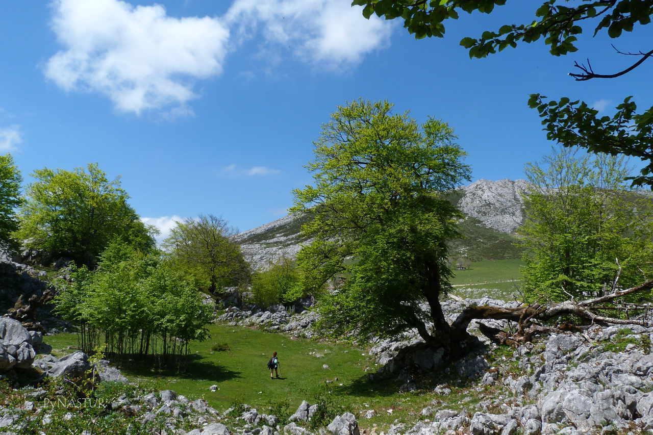 Saliendo del hayedo hacia la Vega de Enol - Lagos de Covadonga