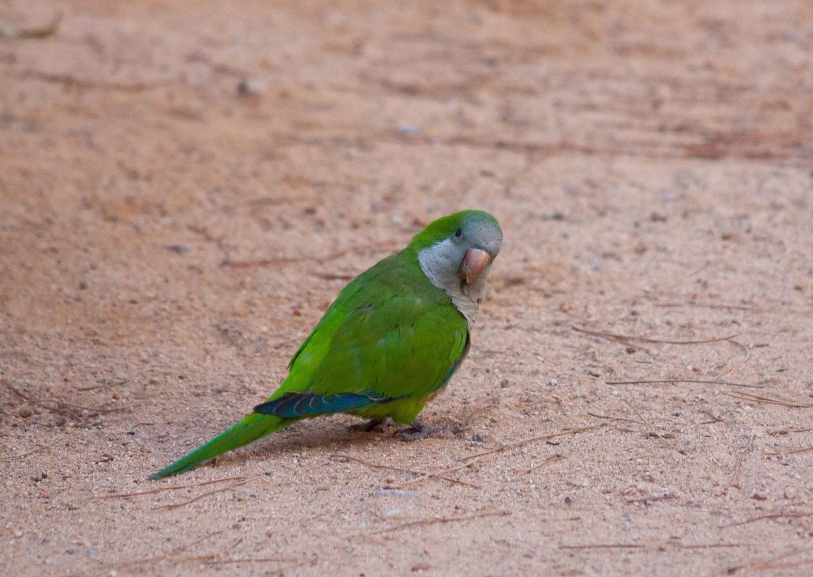 Monk Parakeet - Barcelona
