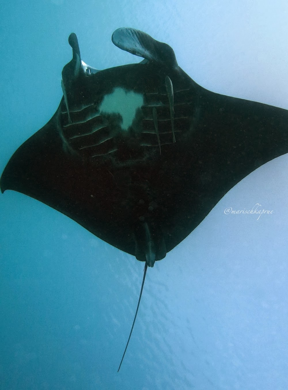 "<a href=""http://mataram.info/things-to-do-in-bali/visitindonesia-banda-marine-life-the-paradise-of-diving-topographic-point-inward-fundamental-maluku/"">Indonesia</a>best destinations : Manta Exhibit At Manta Sandy, Raja Ampat"