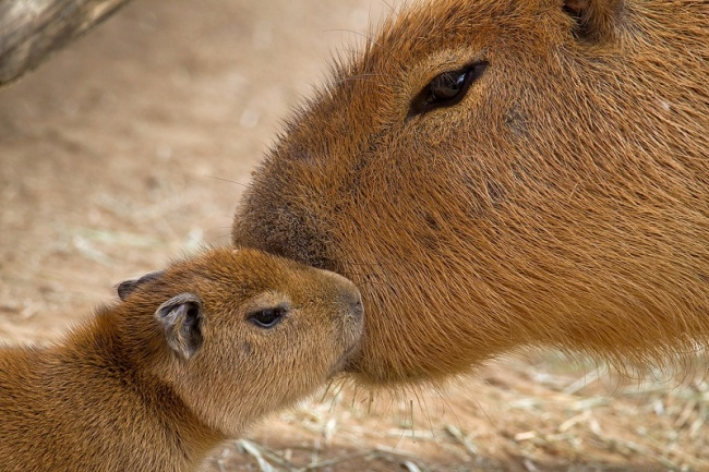 rules of life capybaras