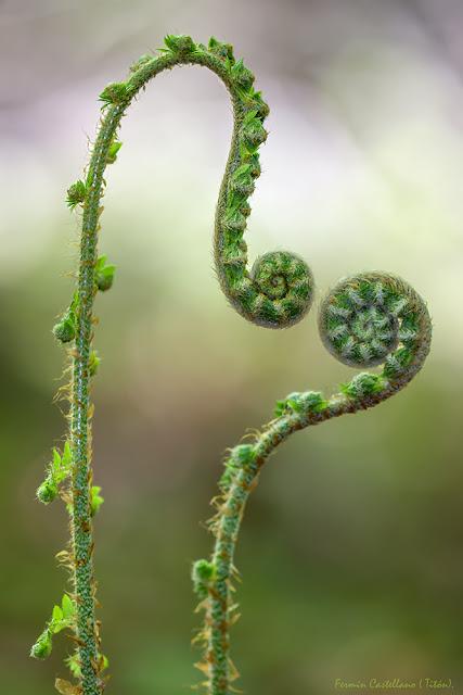 Helechos nacientes (Nephrolepis falcata)