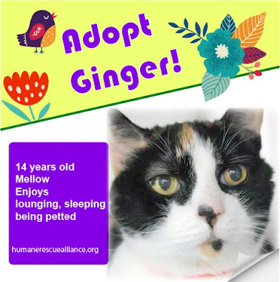 Ginger, 14-y-old calico cat available for adoption through Humane Rescue Alliance