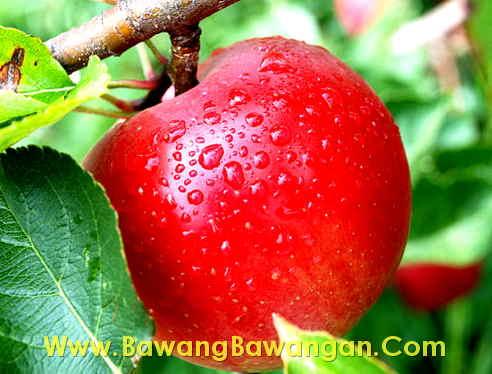 ciri ciri buah buahan yang berbahaya
