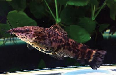Bentuk Fisik Hoplo Catfish