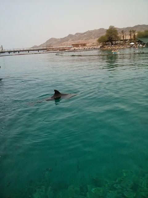 דולפין באילת
