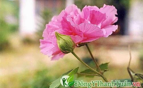 Bài thuốc chữa bệnh đau lưng bằng hoa phù dung