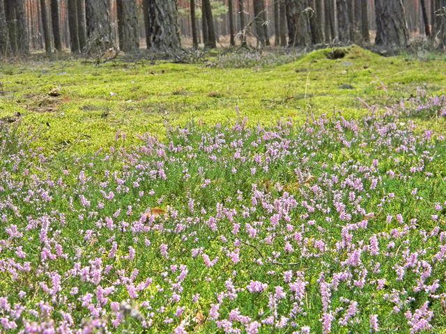 las, mech, kwiaty, sosny