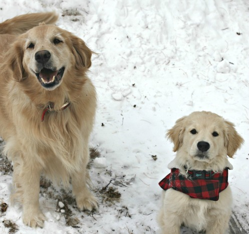Golden retrievers in snow - www.goldenboysandme.com