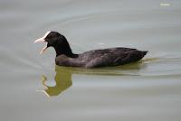 Fotografía de aves con SEO-Vanellus