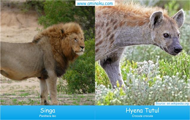 Perbedaan singa dan hyena tutul
