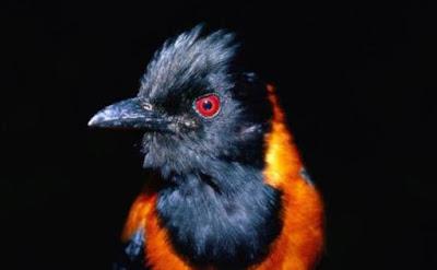 Pitohui: a primeira ave venenosa descoberta pela ciência