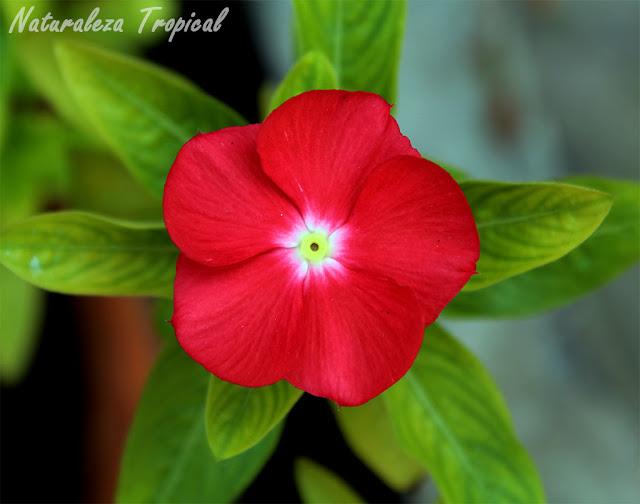 Variedad roja más clara de la flor vicaria, Vinca rosea o Catharanthus roseus
