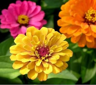 bunga-zinnia