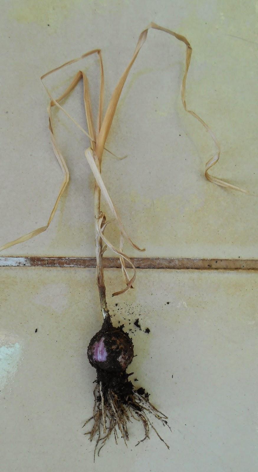cultivo de ajos