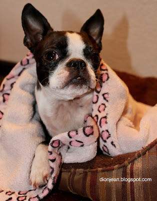 Sinead the Boston terrier in her blanket