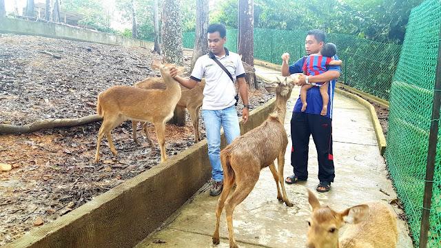Beri makanan pada rusa di Bukit Gambang Safari Park