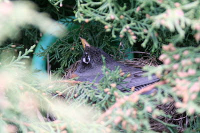 Life in motion: robin nest (Focus on Life, week 17) :: All Pretty Things