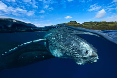 http://www.lepetitshaman.com/wp-content/uploads/2016/03/photo-plonger-baleine-22.jpg
