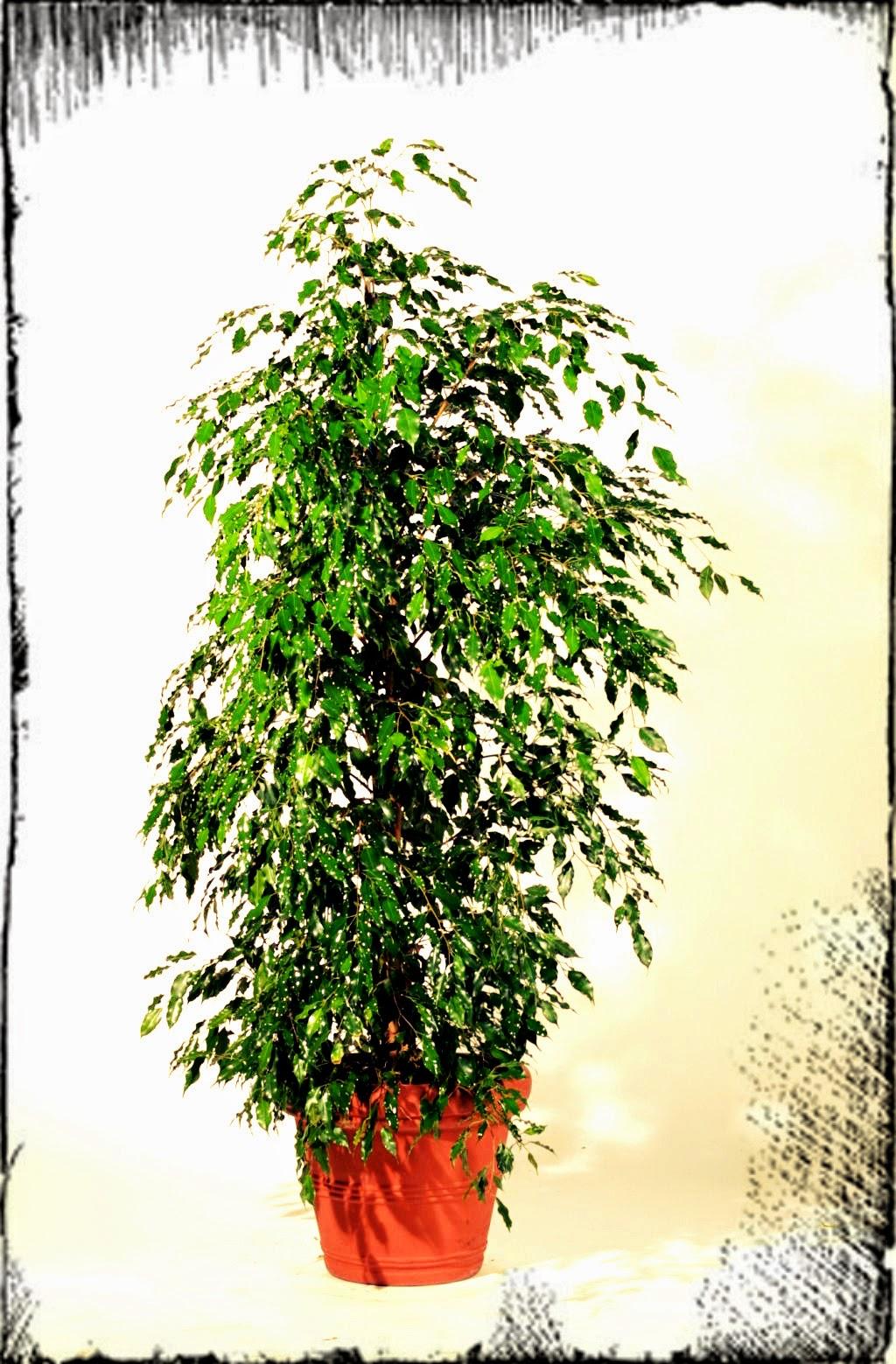 Ficus Benjamin Perde Le Foglie Top Risposta Un Ficus