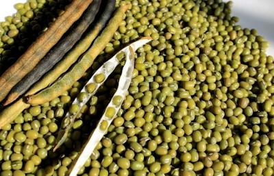 Cara Budidaya Tanaman Kacang Hijau