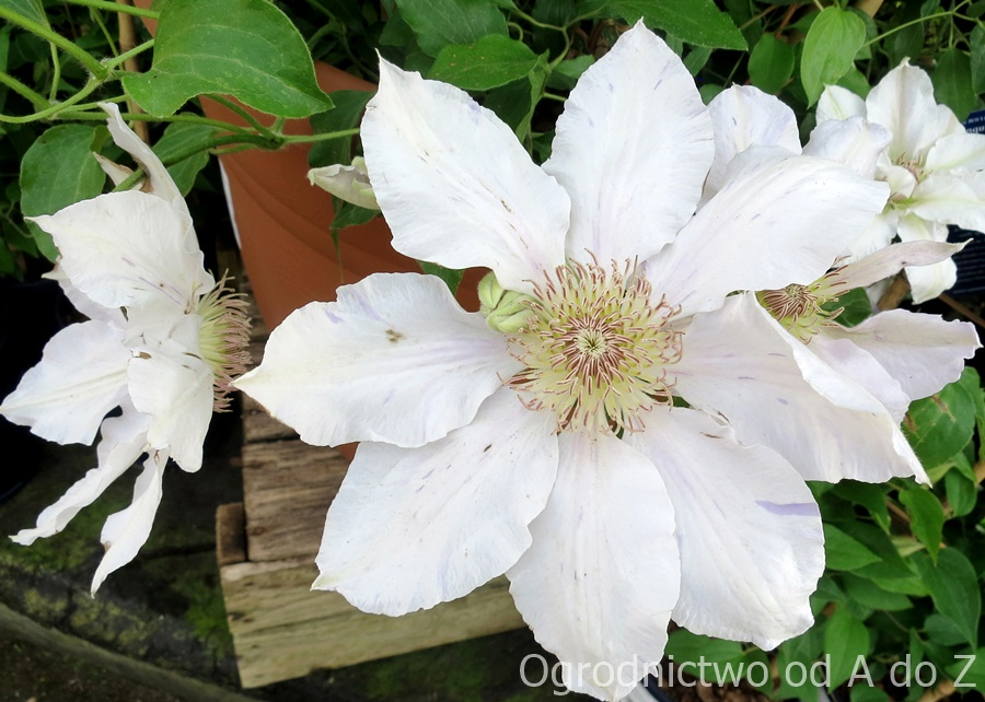 Clematis 'Chantilly'
