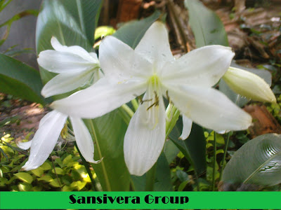 bakung-bunga-putih