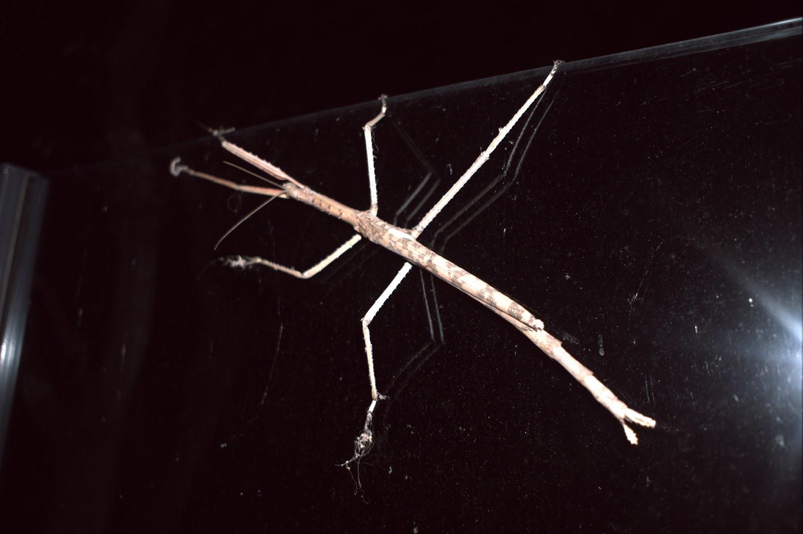 allrite rites: Acrophylla titan - the titan stick insect