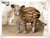 Tapir Animal Pictures