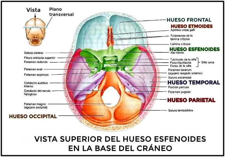 Hueso esfenoides: vista superior del hueso en la base del cráneo