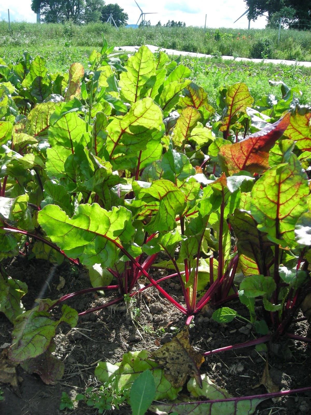 vegane solidarische Landwirtschaft