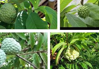 Cara membuat pestisida nabati, tanaman pembuat pestisida nabati