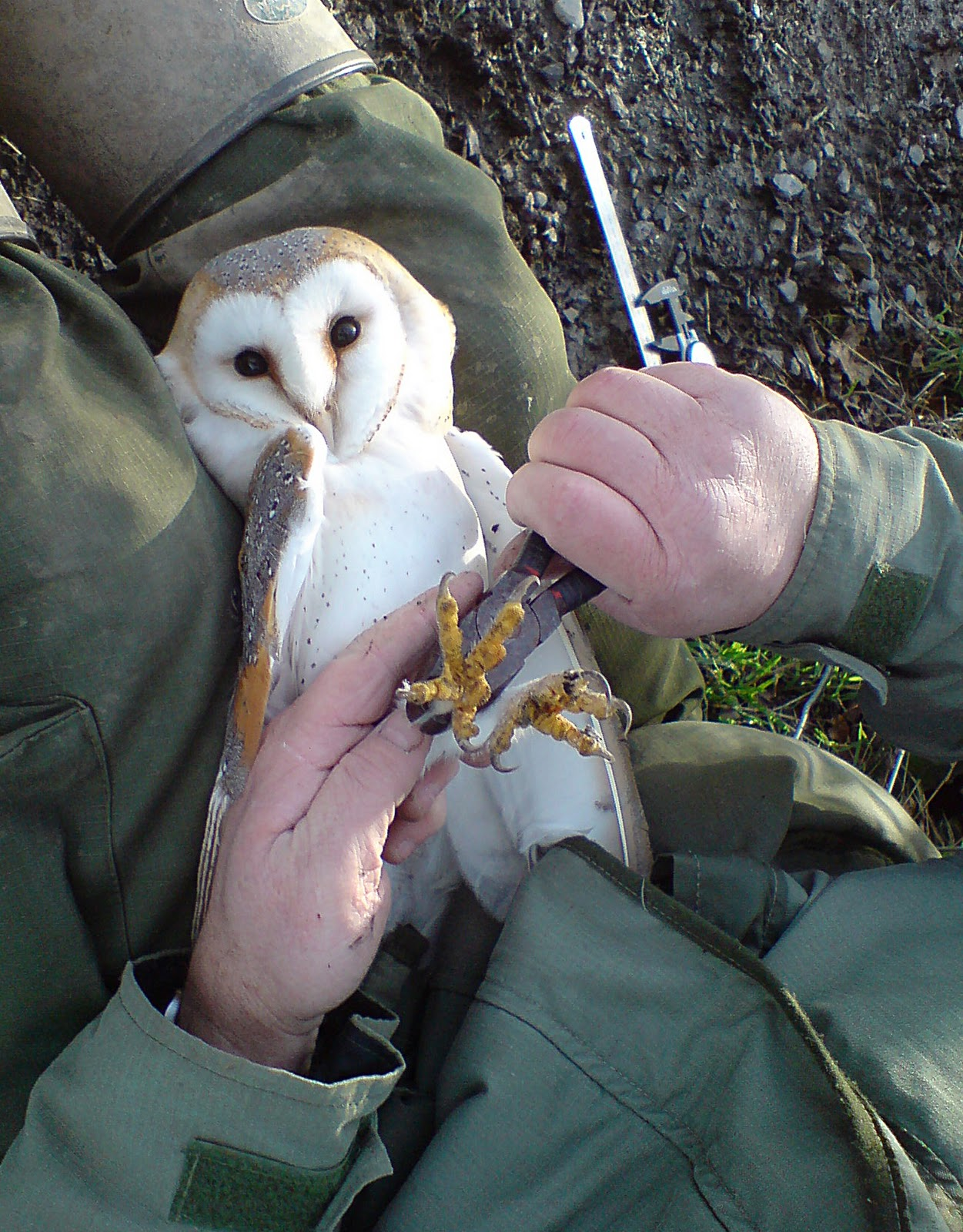 Ruffled feathers things looking up for montgomeryshire for What owls look like without feathers