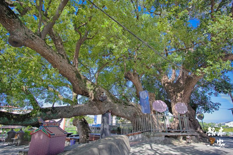 苗栗公館神木景點|鶴岡千年鶼鰈老樹|自流井~鶴岡村信仰中心