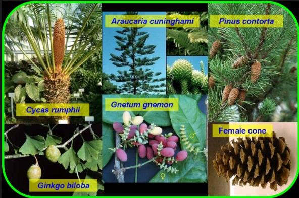 Pengertian, Perbedaan dan Jenis-jenis Gymnospermae dan ...