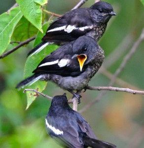 Merawat Anakan Burung Kacer
