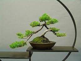 jack pine bonsai